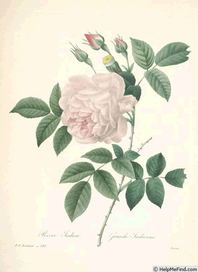 '<i>Rosa odorata</i> (Andrews) Sweet' rose photo