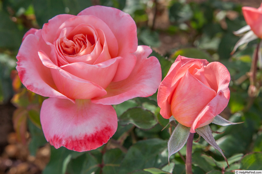 'MEInostair' rose photo