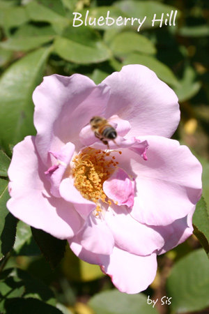 'Blueberry Hill ™' rose photo