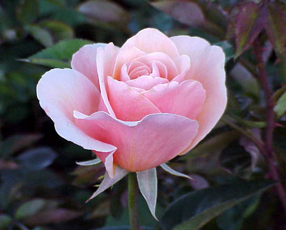 'Savannah (hybrid tea, Weeks, 1980)' rose photo