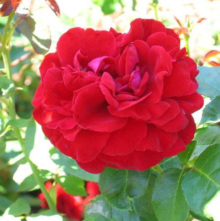 'Braveheart ™ (shrub, Clements, 1998)' rose photo