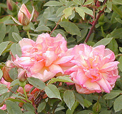 'Fortune's Double Yellow (China Cl, Fortune, 1844)' rose photo
