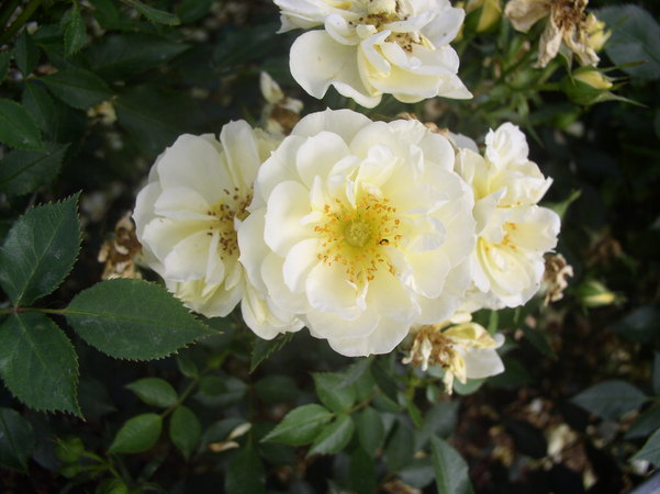 'Golden Cover' rose photo
