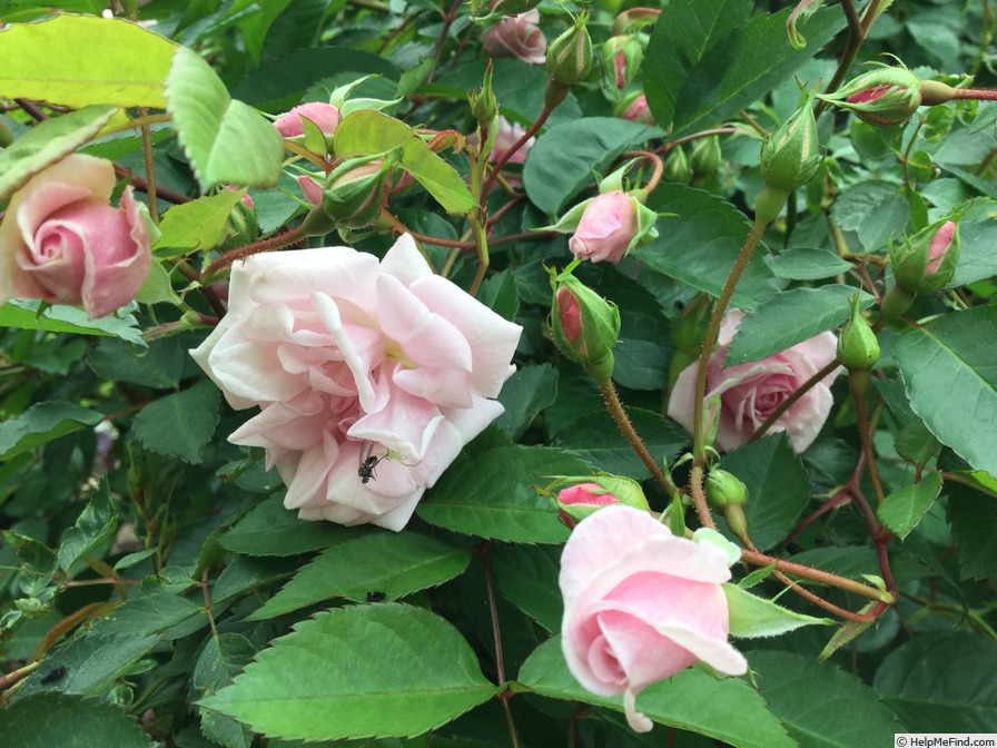 'Marie Daly' rose photo