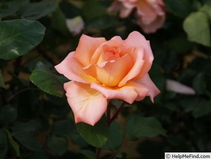'Kanon' rose photo