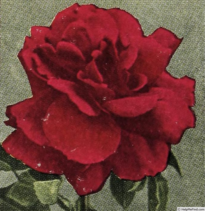 'Alexander Emslie' rose photo
