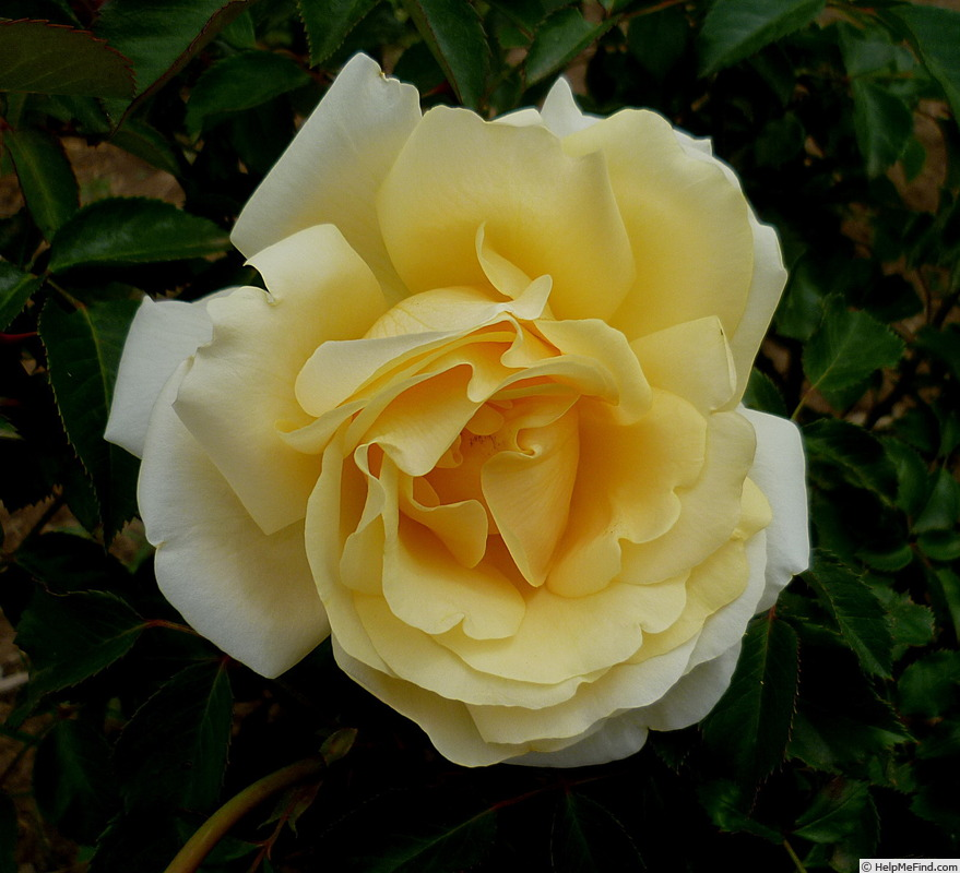'Winter Sun ® (hybrid tea, Kordes 2001)' rose photo
