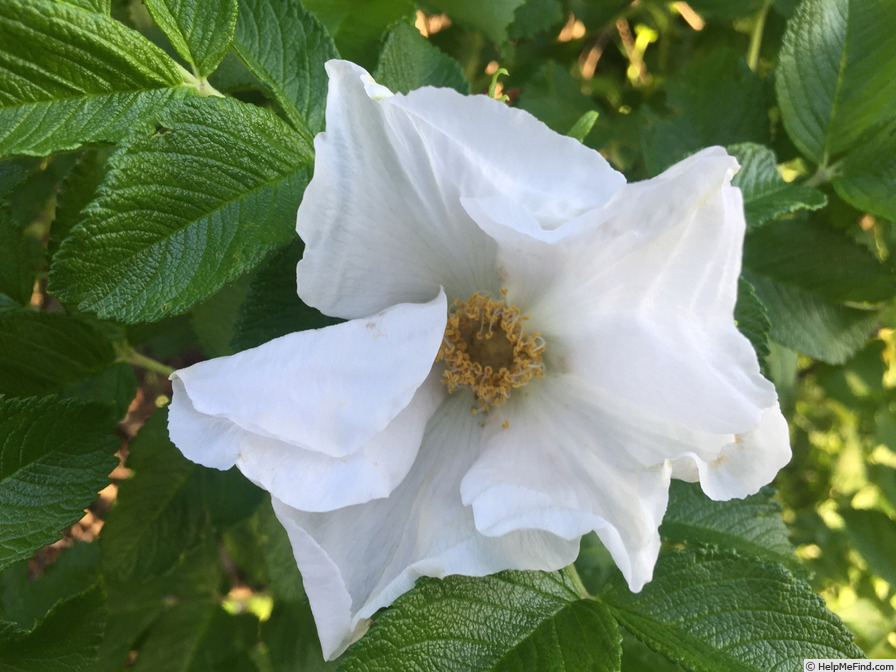 '<i>Rosa rugosa</i> 'Alba'' rose photo