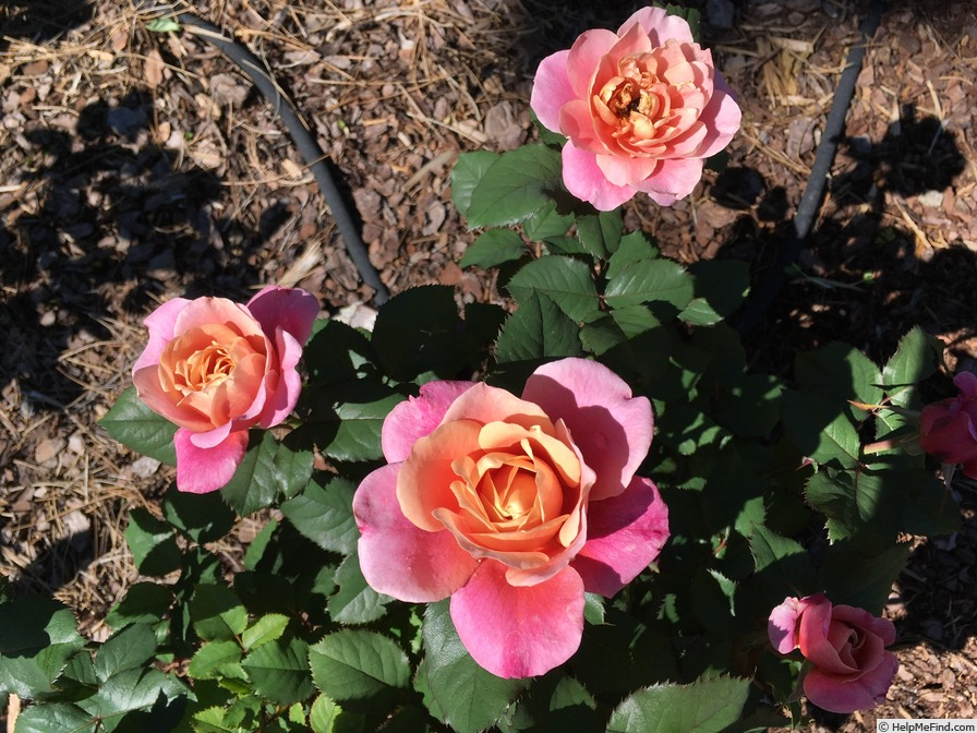 'Distant Drums (Shrub, Buck, 1984)' rose photo