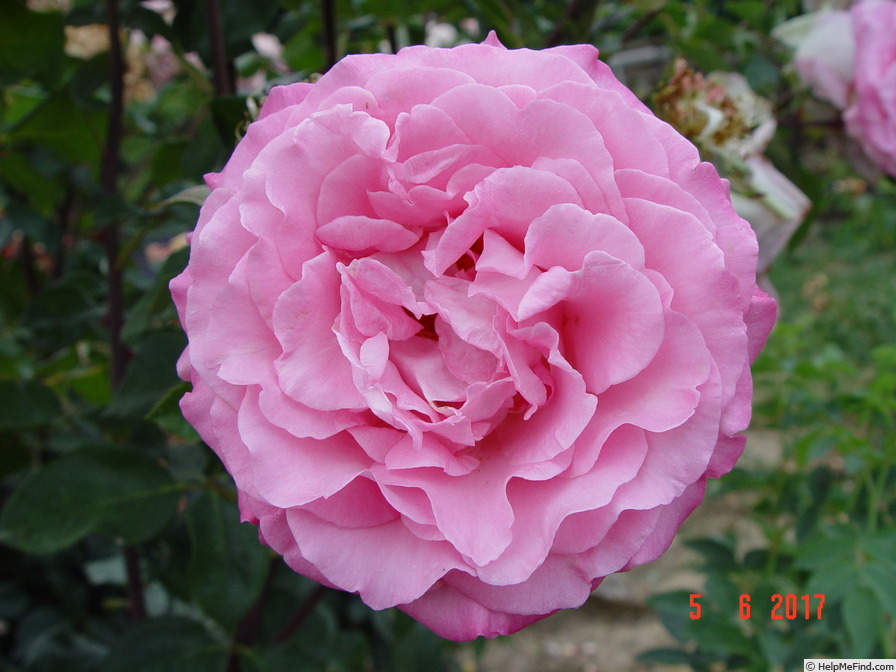 'Beverly ®' rose photo
