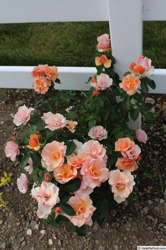 'Honey Nectar™' rose photo