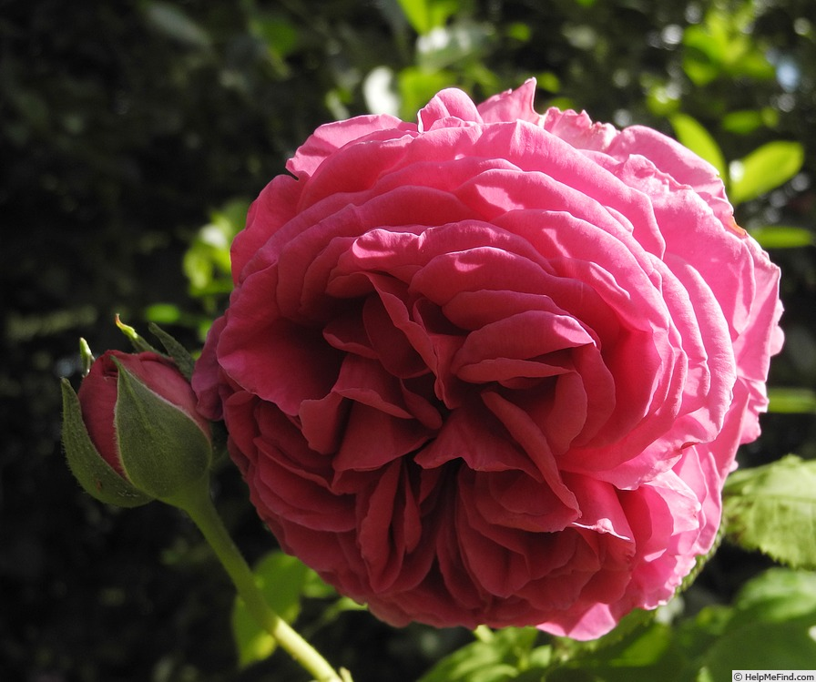 'Madame Isaac Pereire (Bourbon, Garcon, 1876)' rose photo