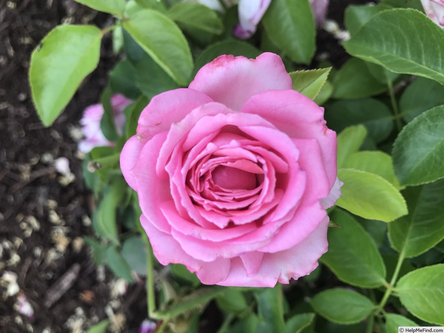 'Wedding Bells ® (hybrid tea, Kordes 2001)' rose photo