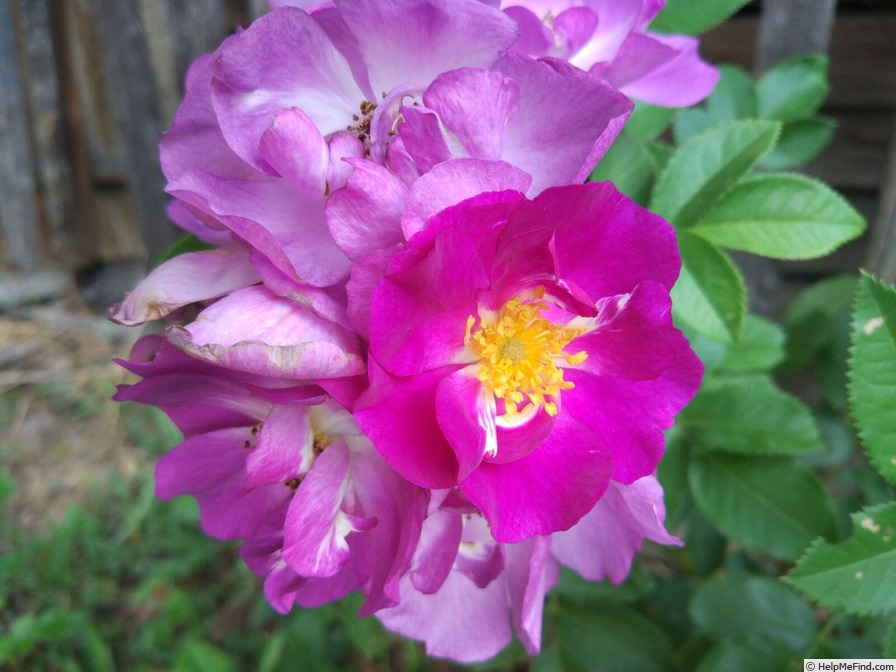 'CHEwbluemore' rose photo
