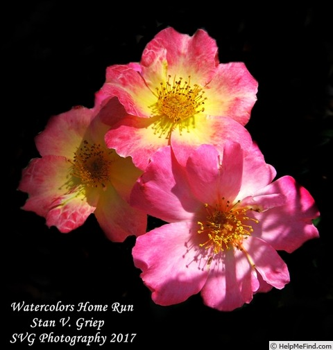 'Watercolors Home Run' rose photo