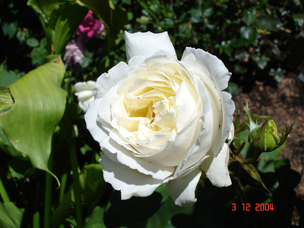'Cyril Fletcher' rose photo