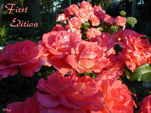 'First Edition' rose photo