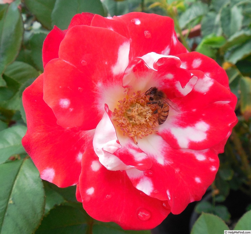 'Ladybug (floribunda, Meilland, 2001)' rose photo