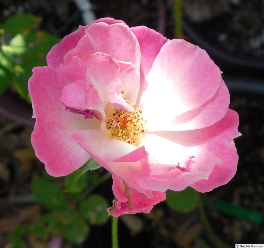 'Dancing in the Wind' rose photo