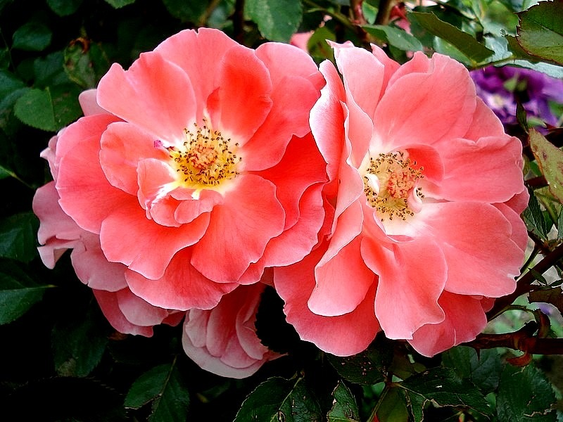 'Allée Abricot ®' rose photo