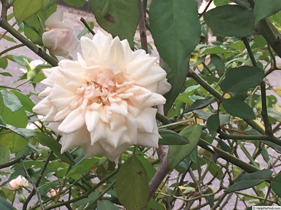 'Rubens (tea, Robert & Moreau, 1859)' rose photo