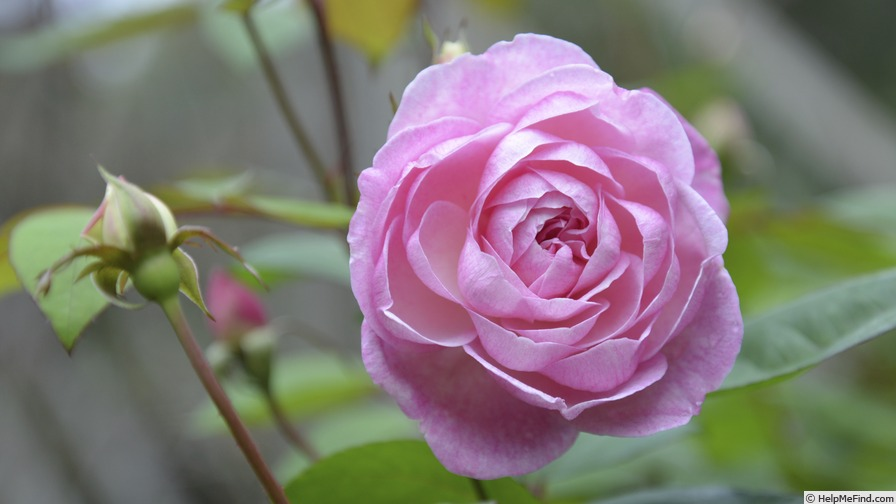 'Cyd's Compassion' rose photo