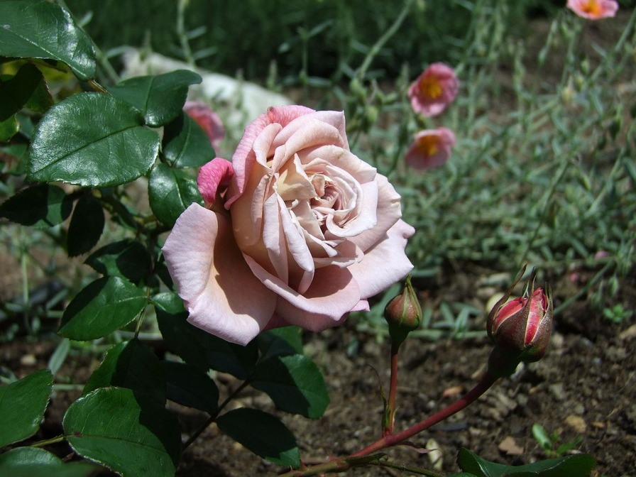 'Gletscher' rose photo