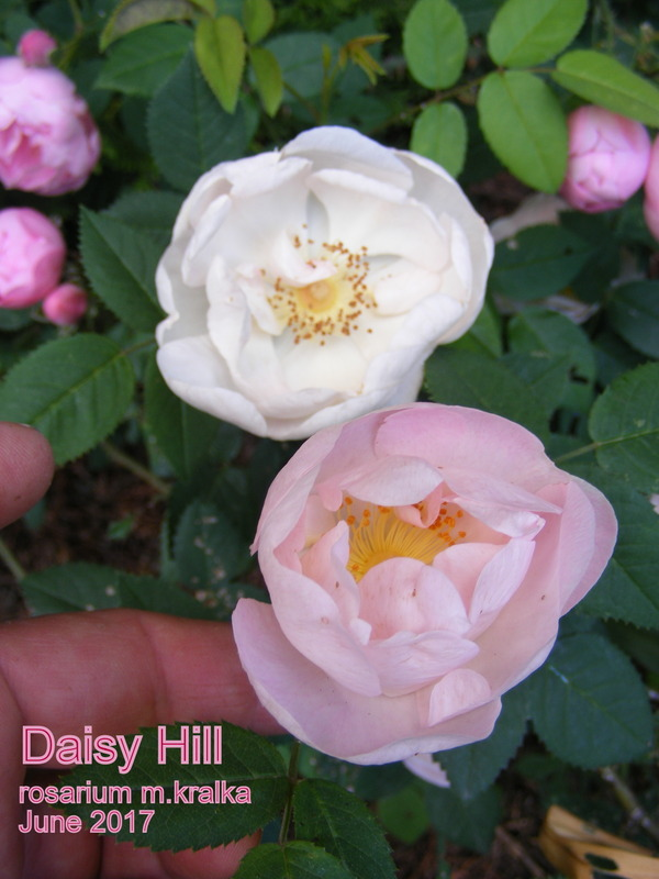 'Daisy Hill' rose photo