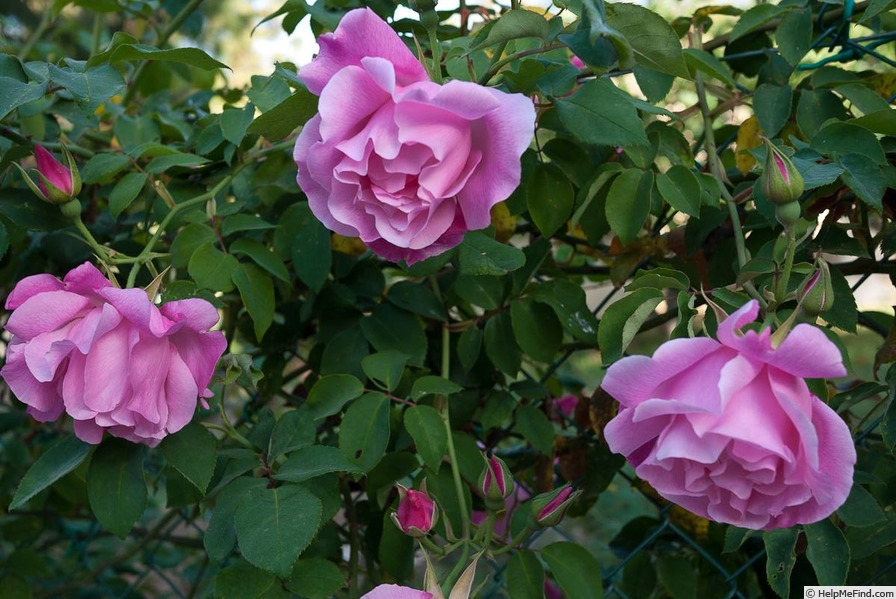 'Madame Grégoire Staechelin' rose photo
