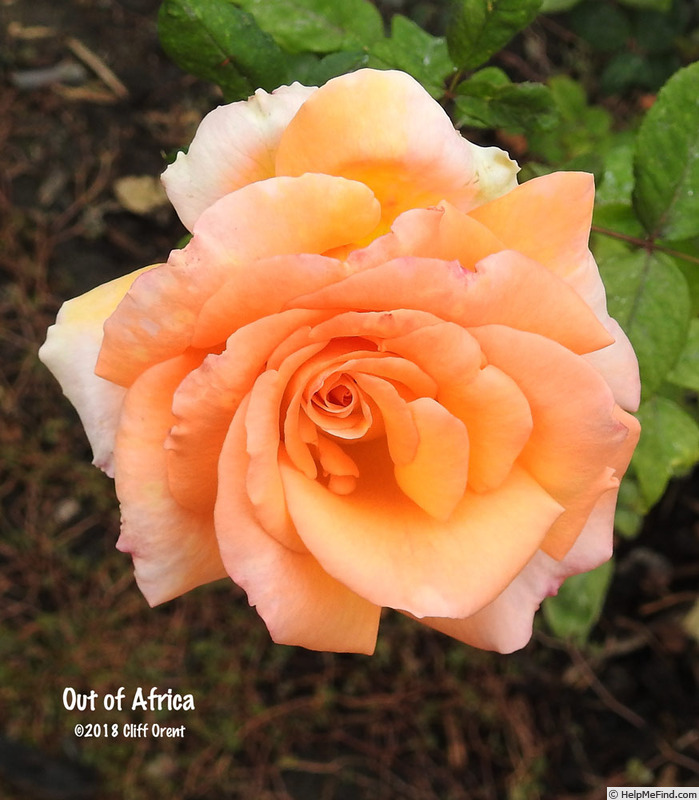 'Out of Africa' rose photo