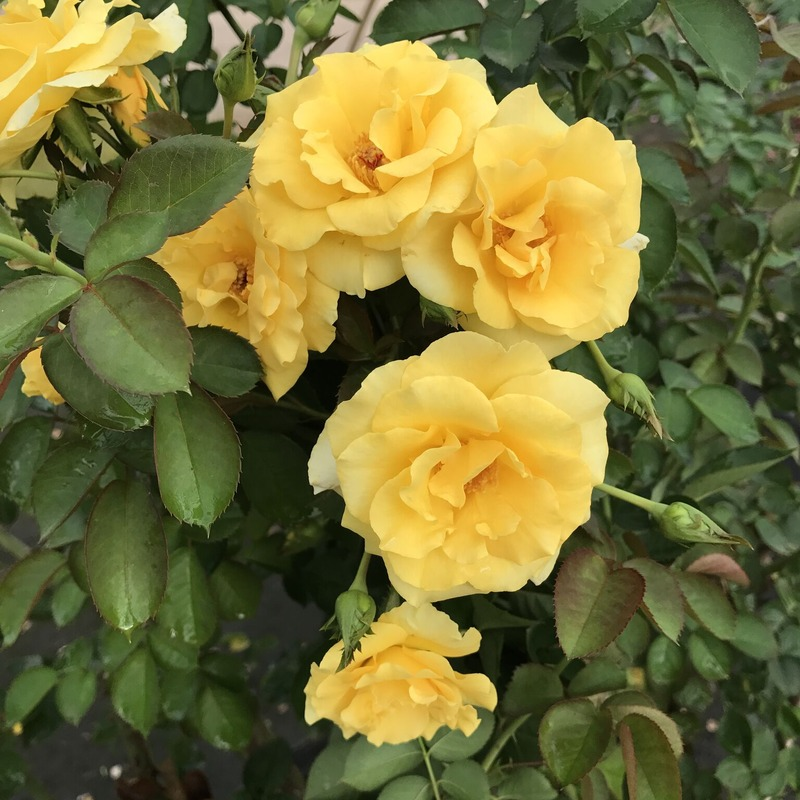 'Good Day Sunshine ™ (climber, Texas 2014)' rose photo