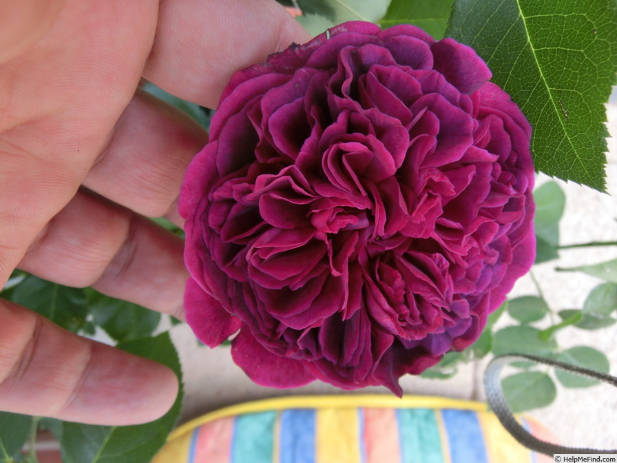 'Gloire de Ducher' rose photo