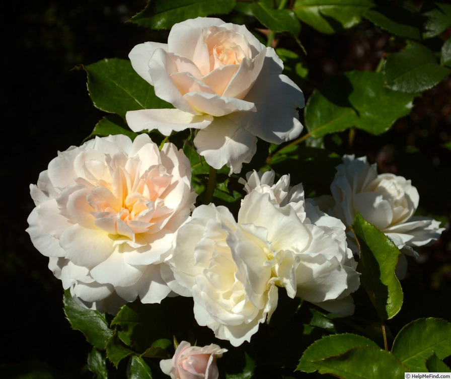 'Champagne Wishes' rose photo