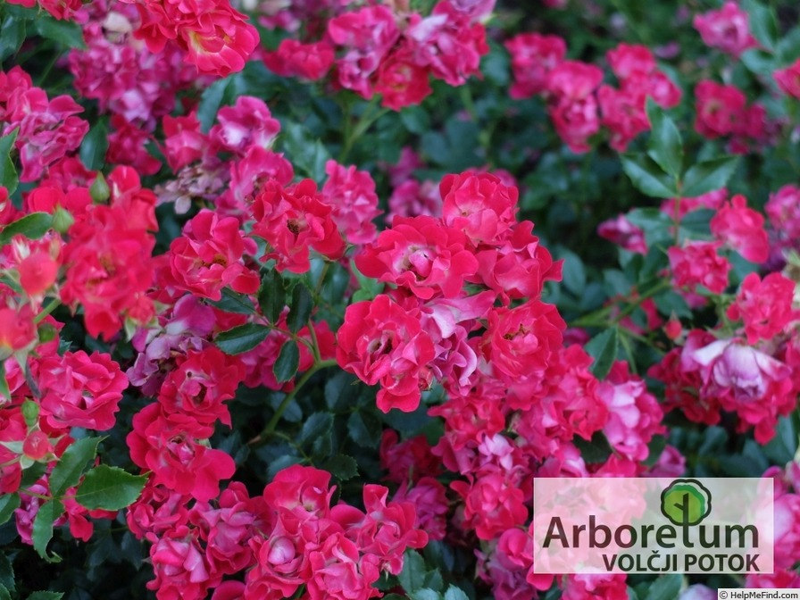 'Red Drift ®' rose photo