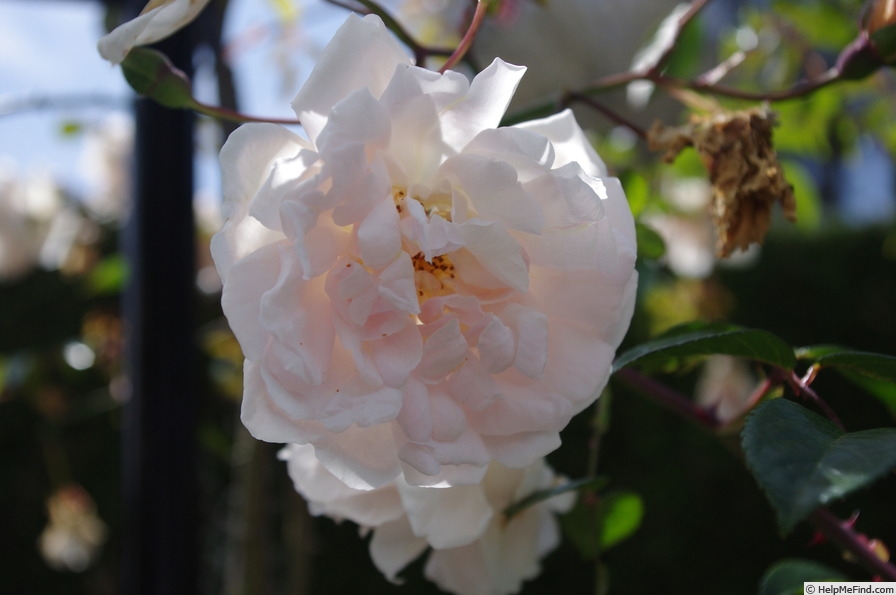 'Auguste Gervais' rose photo