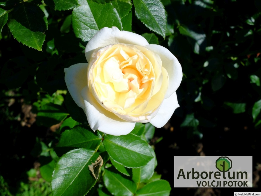 'Tchaikovsky ®' rose photo