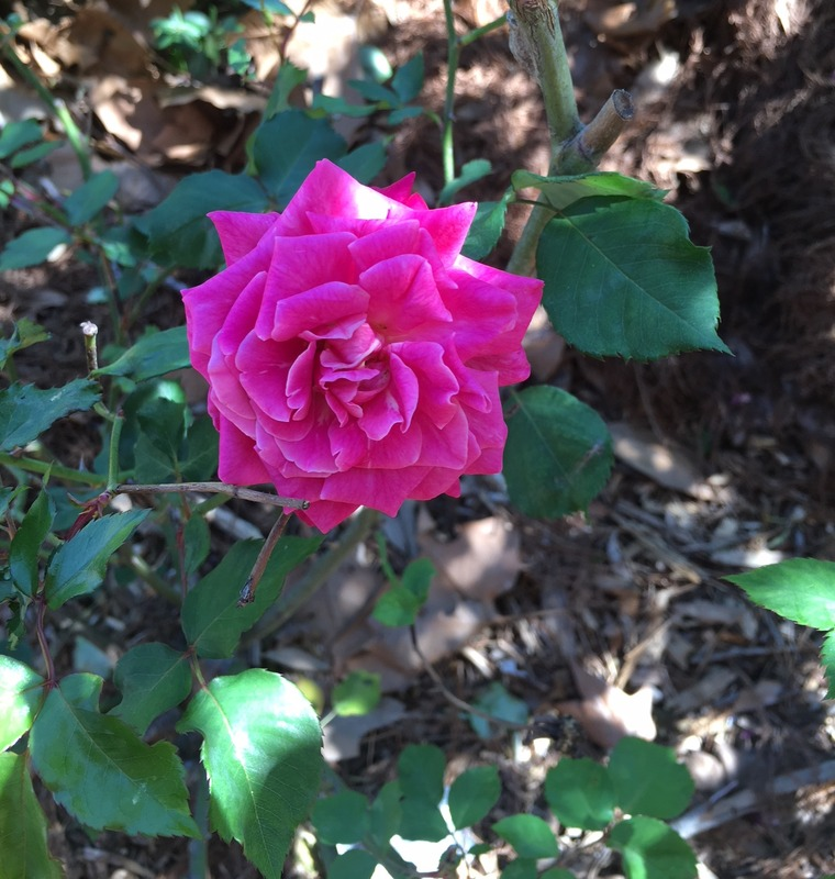 'Bengale Centfeuilles' rose photo