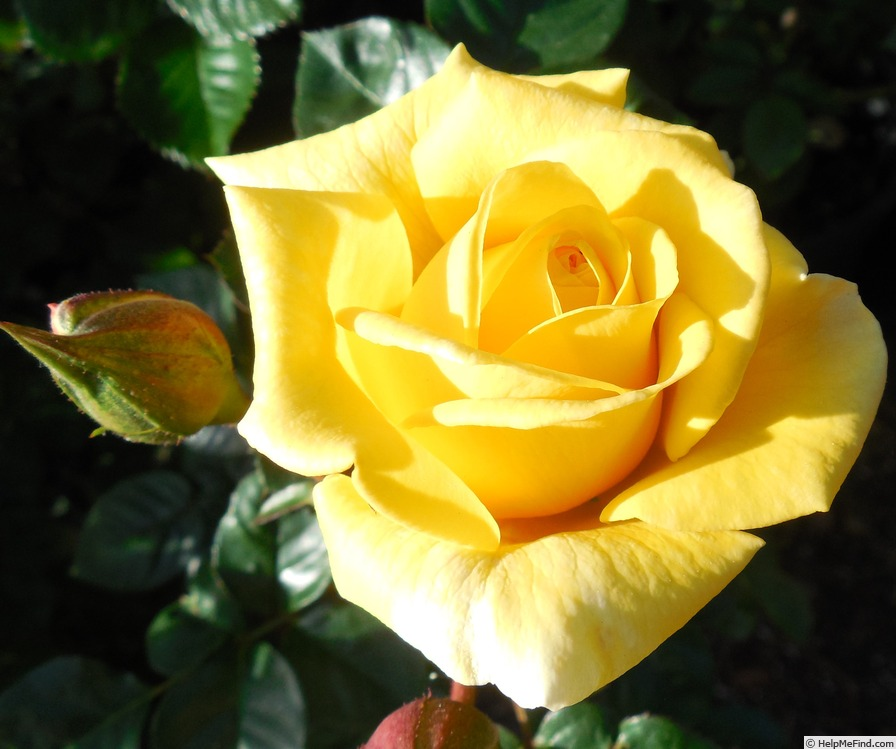 'First Impression' rose photo