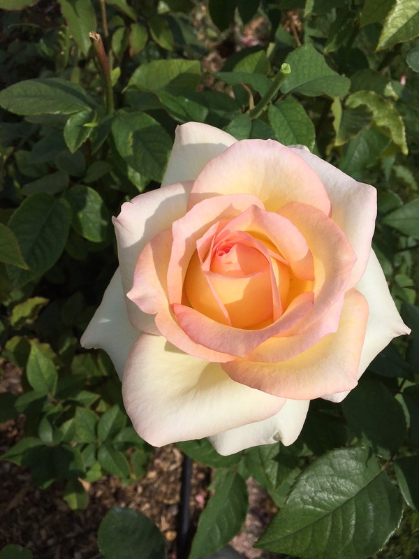 'Folkmagic' rose photo