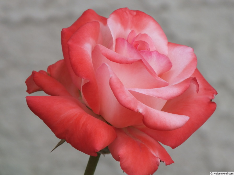 'Touch of Class ™' rose photo