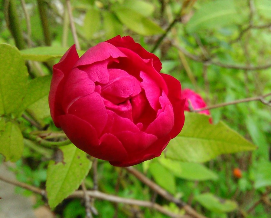 'Semperflorens (china, 1790)' rose photo