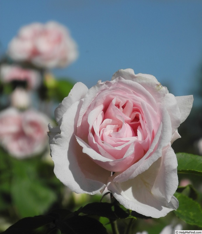'Malmaison, Cl.' rose photo