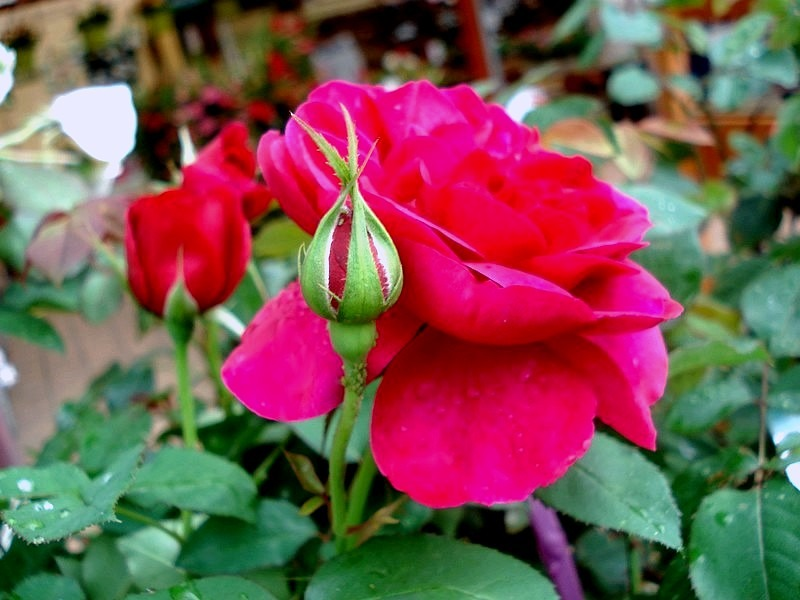 'Darcey Bussell' rose photo