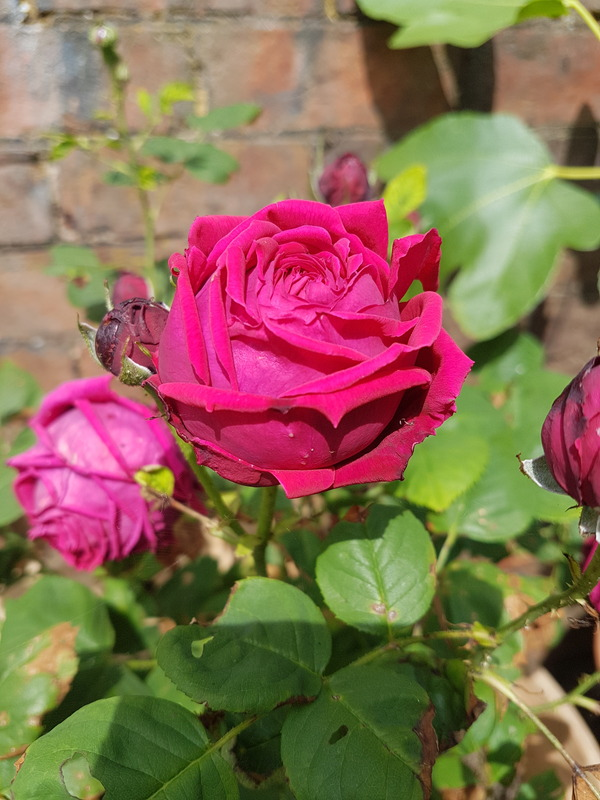 'Éclair (hybrid perpetual, Lacharme, 1883)' rose photo