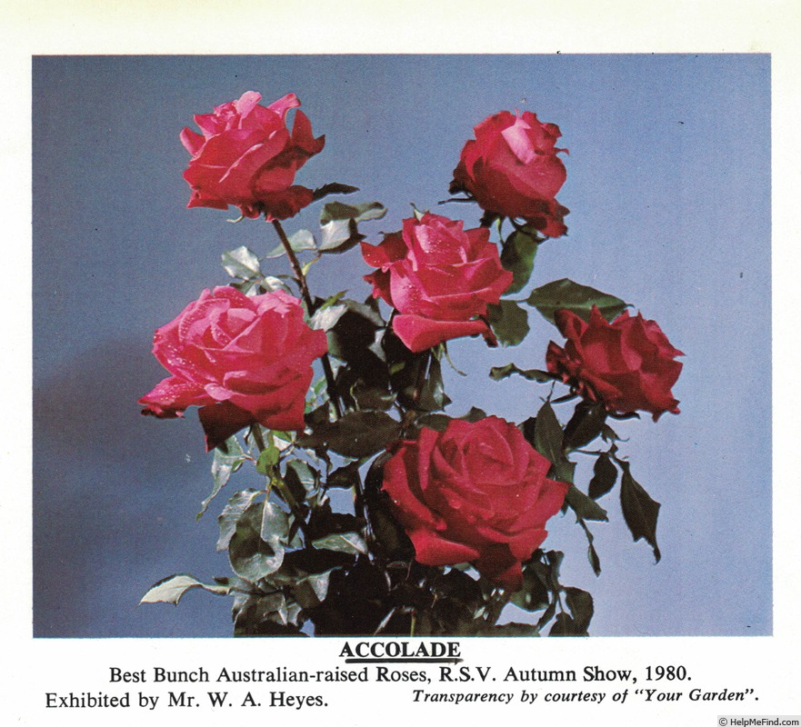 'Accolade' rose photo