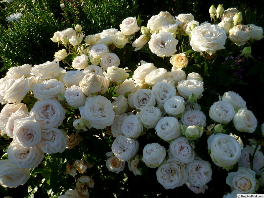 'Madame Anisette ®' rose photo