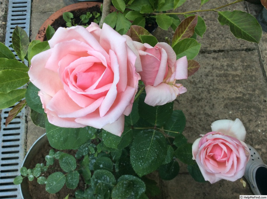 'Warrawee' rose photo
