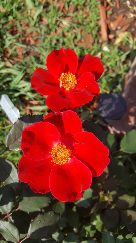 'Cory's SODAK rose garden'  photo