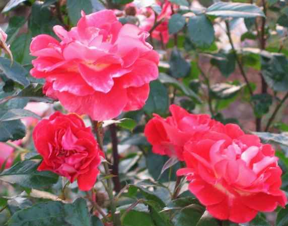 'Spirit of Tollcross' rose photo
