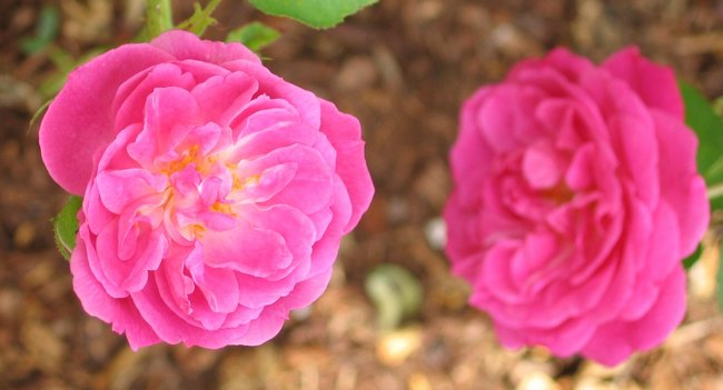'Birdie Blye' rose photo